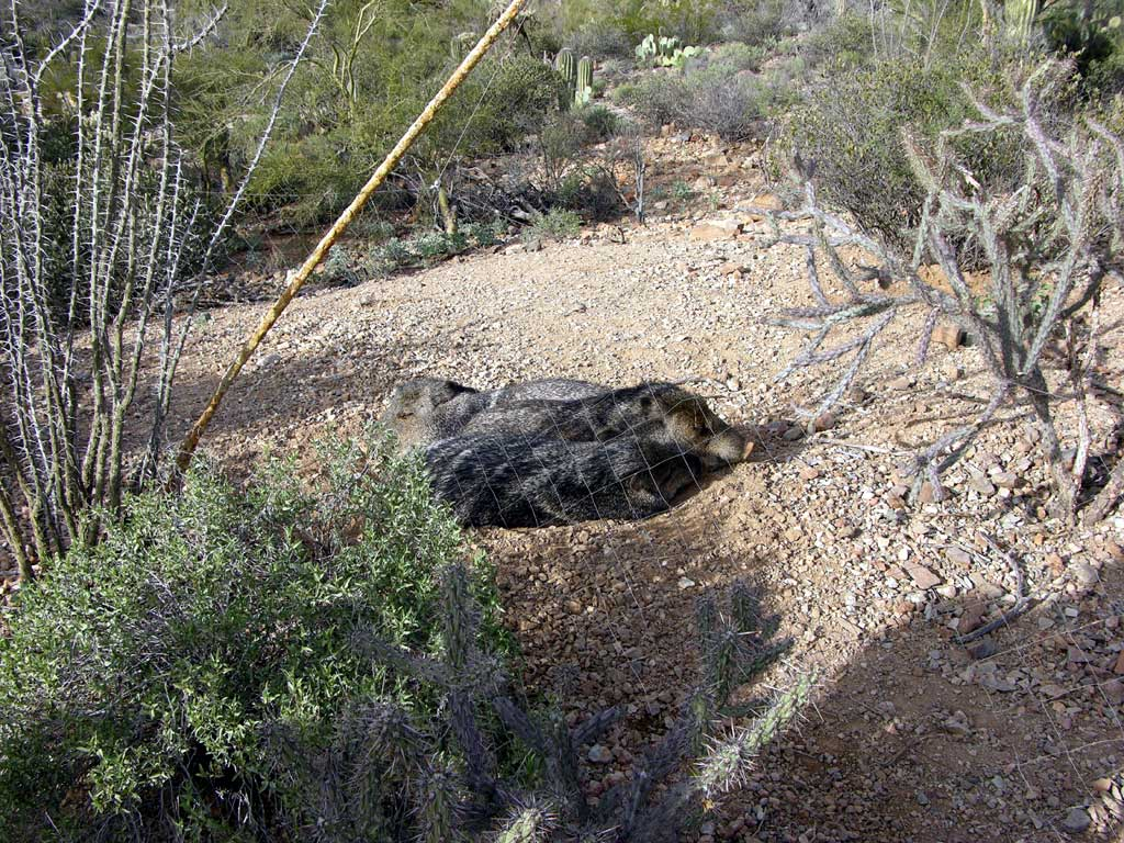 Javelinas (ha-ve-LEE-nas)