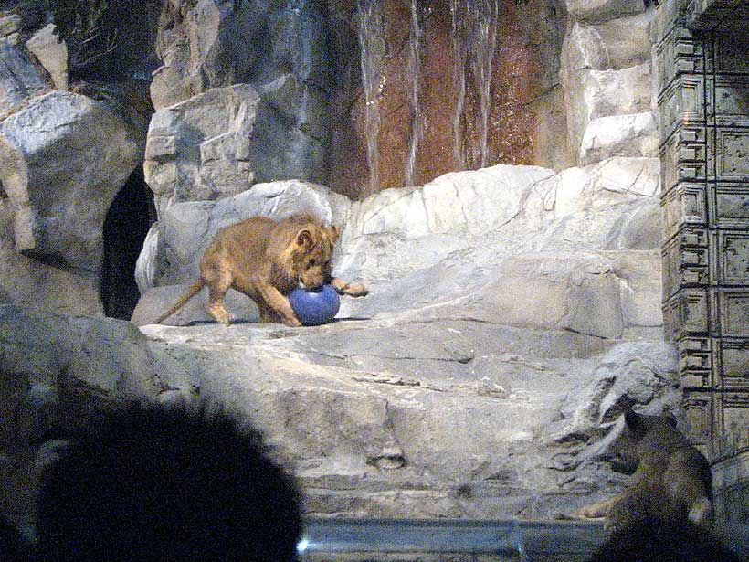 lions at mgm schedule